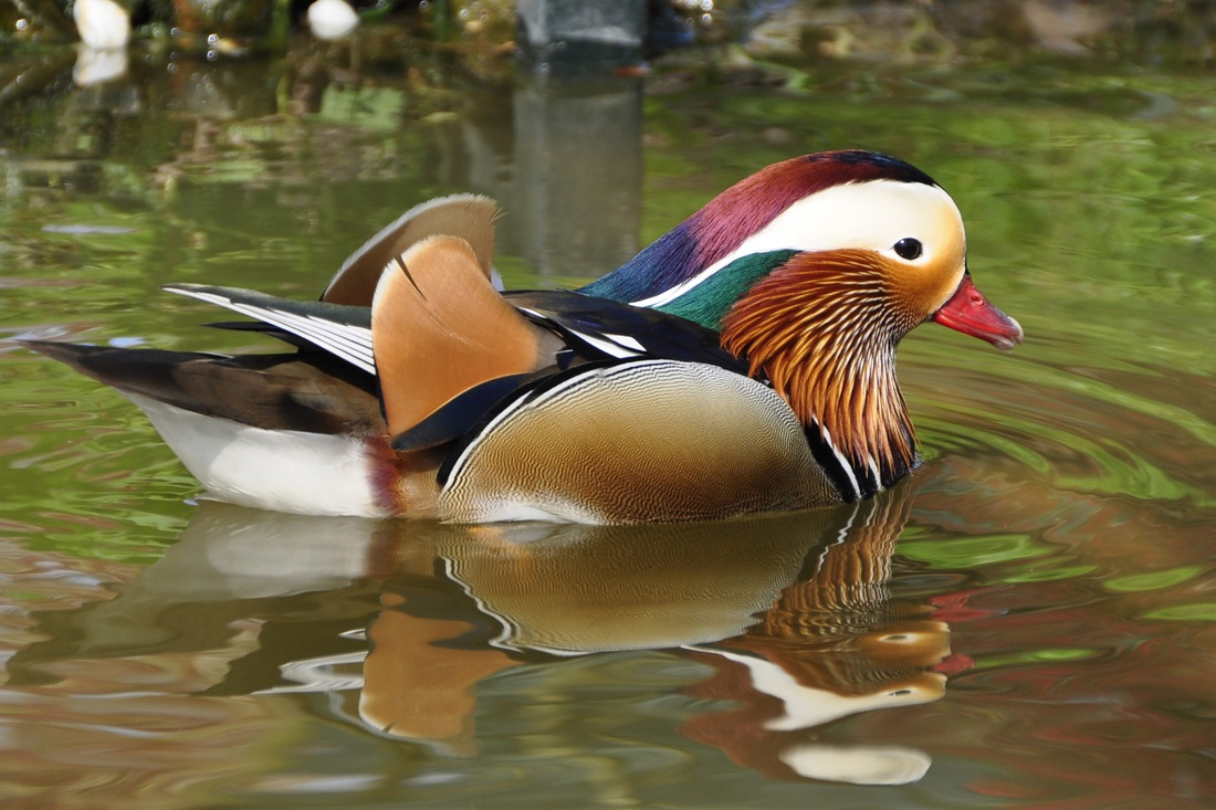 Beautiful colorful duck