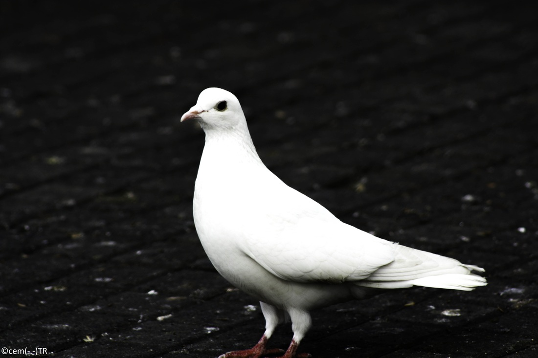 Peace White pigeon