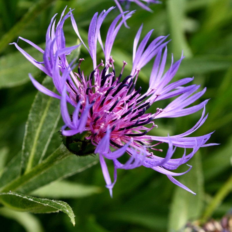 Purple Centaurea Montana flower