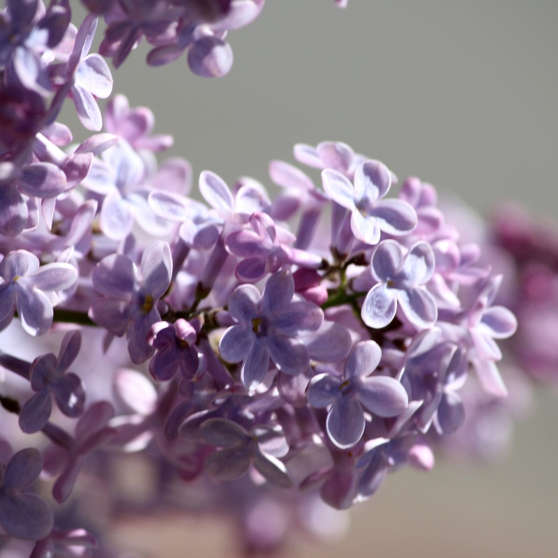 Purple lilacs close up